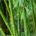 bamboo-150x150